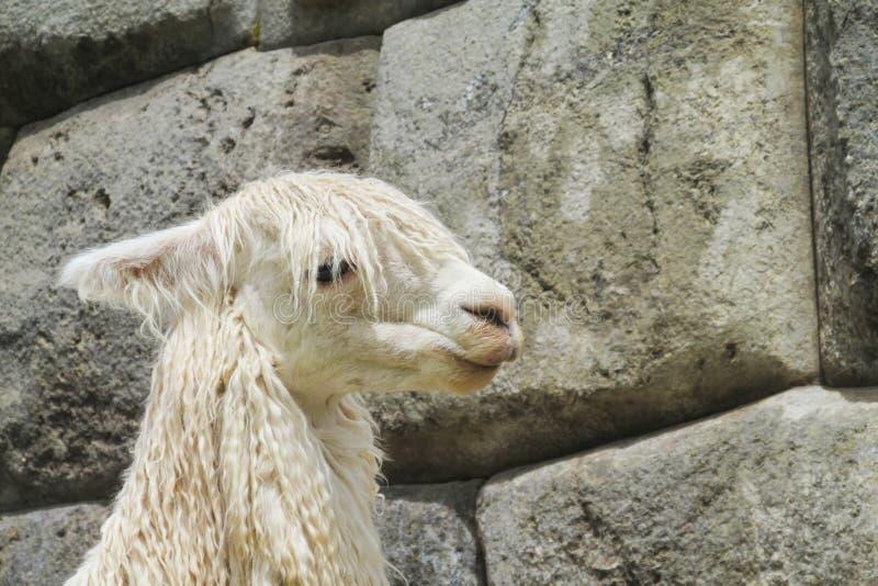 Lama dans des ruines d'Inca images stock