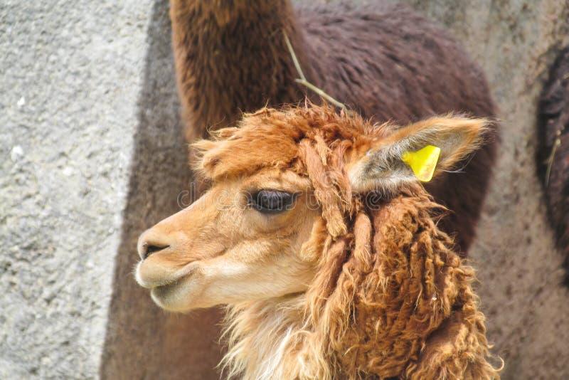 Lama dans des ruines d'Inca image libre de droits
