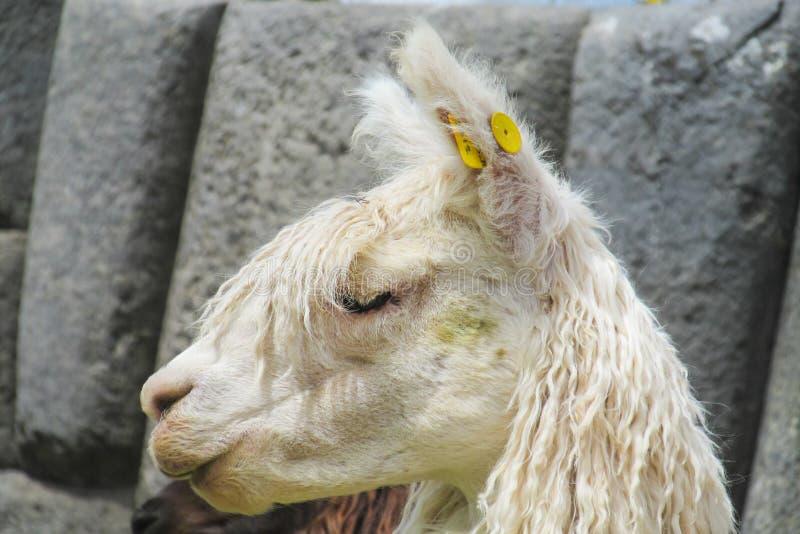 Lama dans des ruines d'Inca image stock