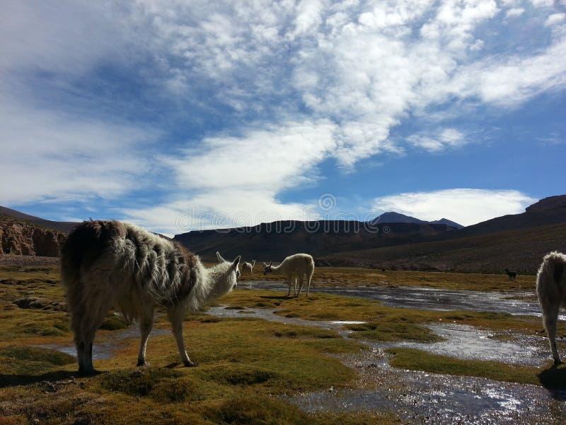 Lama dans le Bolivien Altiplano image stock