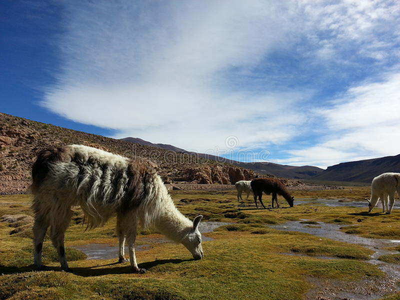 Lama dans le Bolivien Altiplano images libres de droits