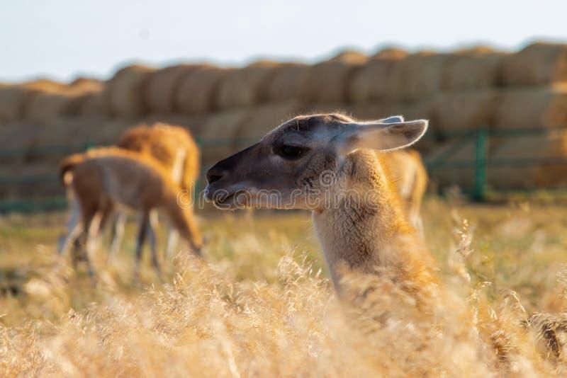 Lama dans le profil sur un fond des meules de foin en Russie photographie stock