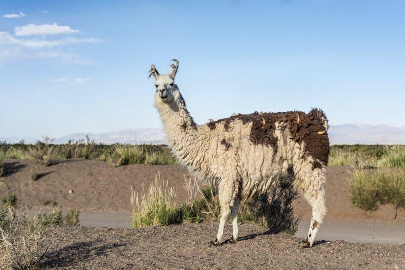 Lama dans les salines Grandes dans Jujuy, Argentine. photo libre de droits