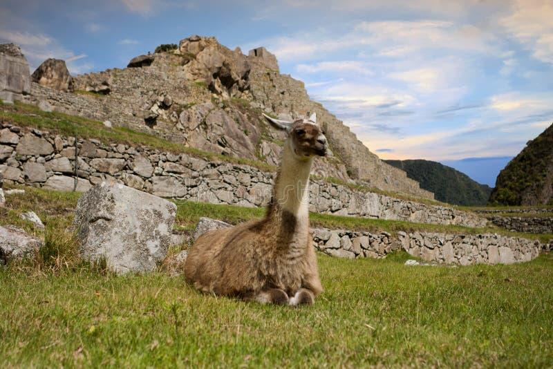 Lama dans Machu Picchu, Cuzco, Pérou image libre de droits
