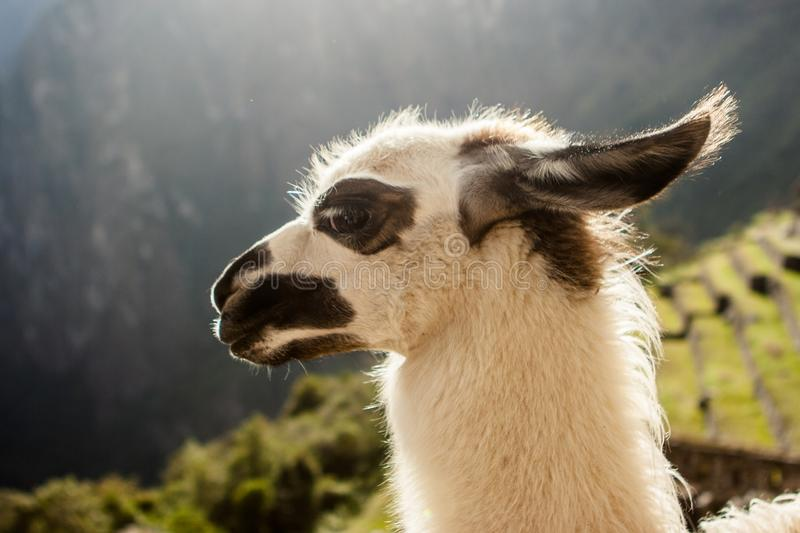 Lama dans Machu Picchu, Cuzco, Pérou photos stock