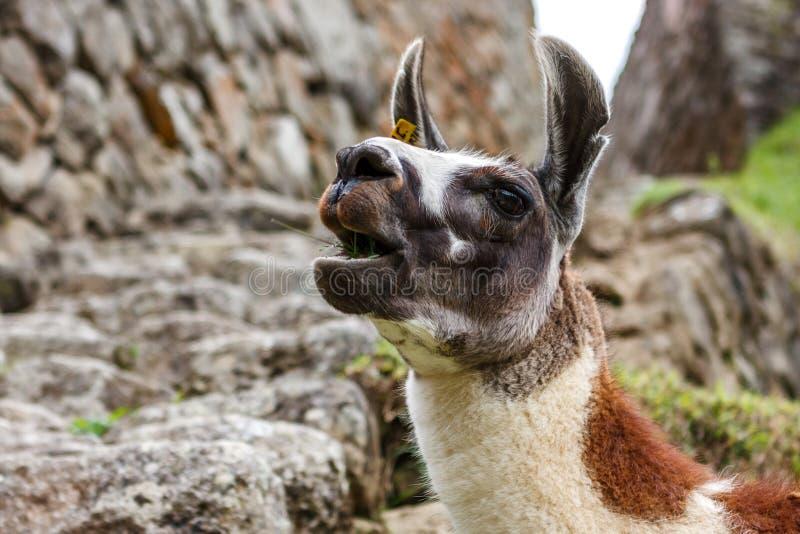 Lama dans Machu Picchu, Cuzco, Pérou photos libres de droits