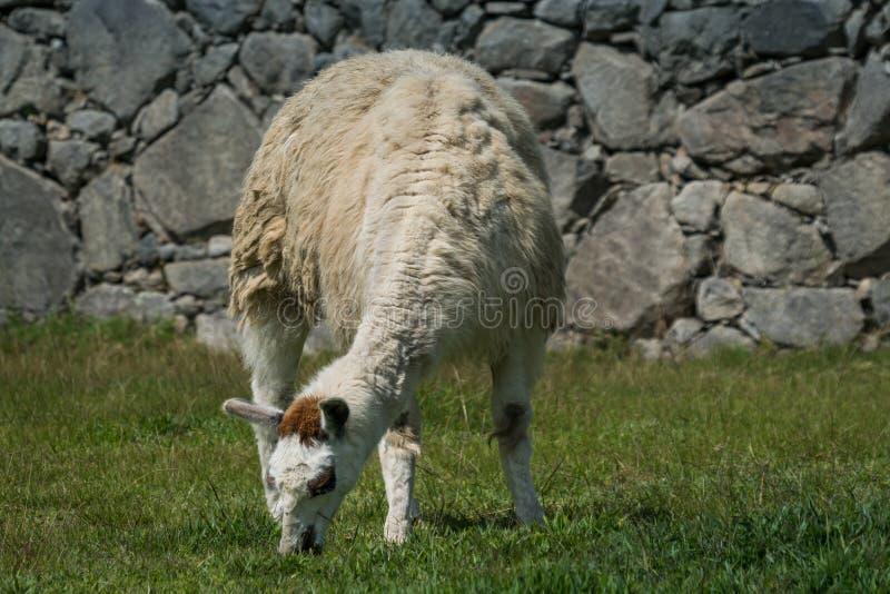 Lama, das auf grünem Gras weiden lässt stockbilder