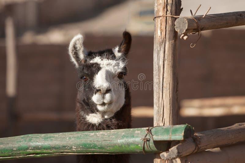 Lama, das gerade zur Kamera schaut stockbild