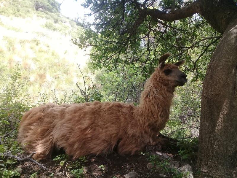 Lama, das im Schatten sitzt stockfotografie