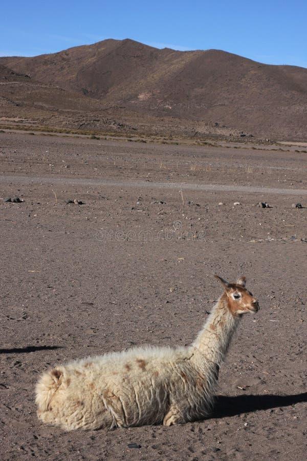 Lama, das in Jijira sitzt lizenzfreie stockbilder