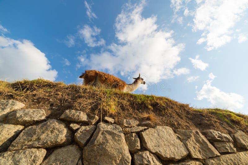 Lama de baixo nos terraços de Machu Picchu, Peru imagens de stock