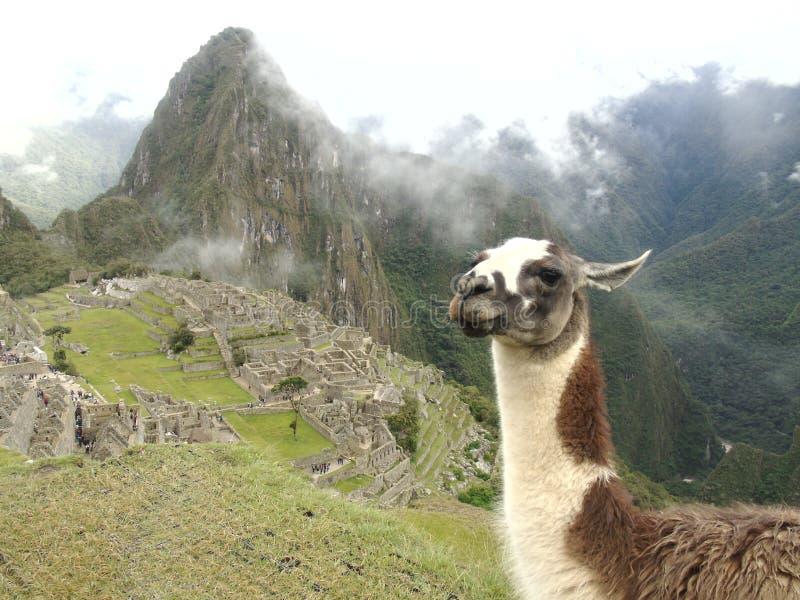 Lama in de berg van Peru stock foto