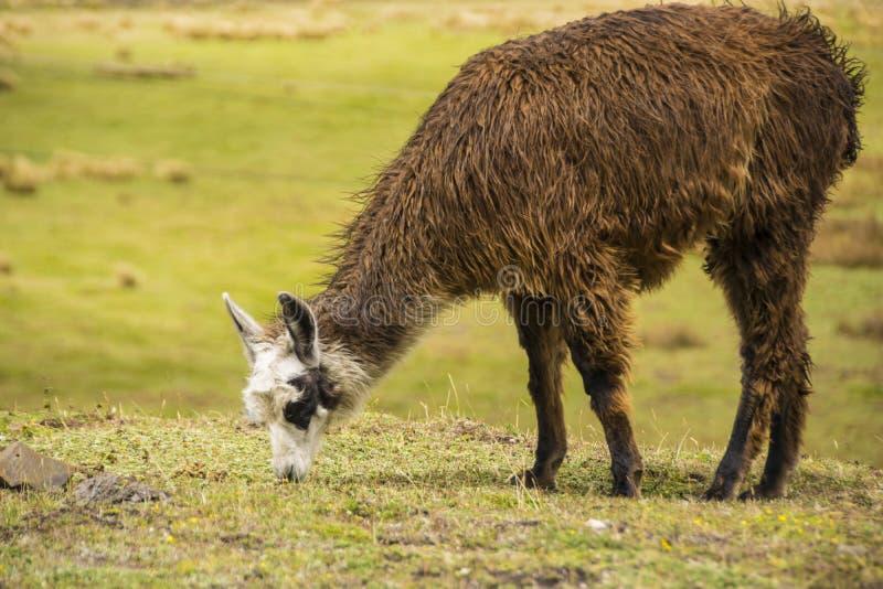 Lama de Brown mangeant l'herbe images libres de droits