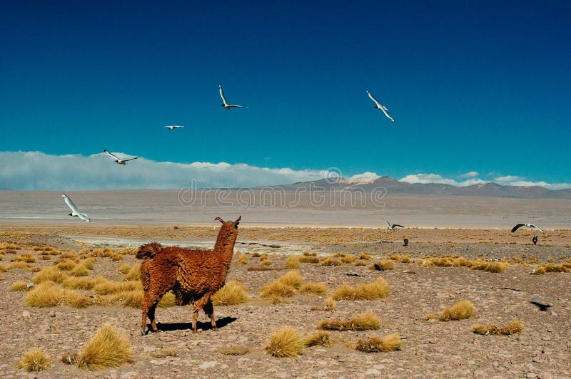 Lama de Brown sur Laguna Colorada, Bolivie images stock