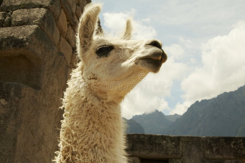 Lama in de stad machu-Picchu royalty-vrije stock afbeelding