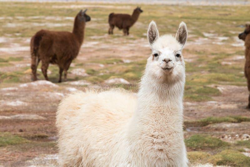 Lama in de wildernis in de Andes royalty-vrije stock afbeelding