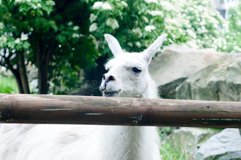 Lama del lama nello zoo immagini stock