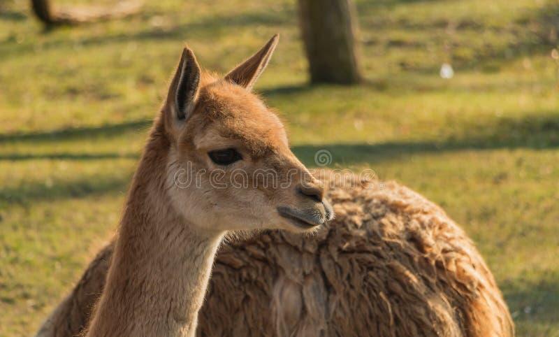 Lama dello zoo di Varsavia fotografia stock libera da diritti