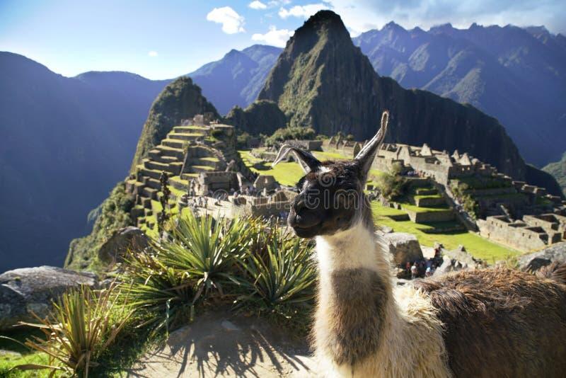 Lama an der Ruine Machu Picchu stockfoto