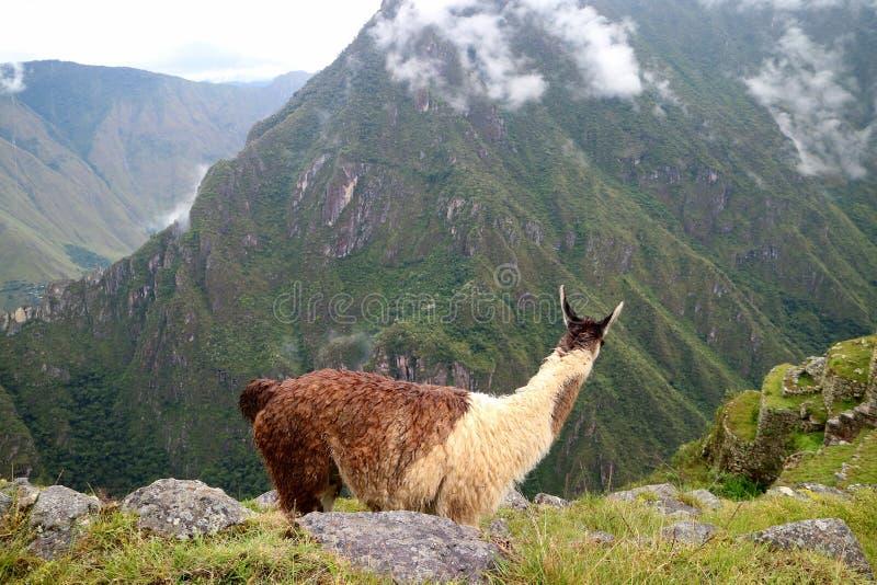 Lama die de verbazende ruïnes van Inca-citadel van Machu Picchu, Cusco-gebied, Peru bekijken stock afbeeldingen