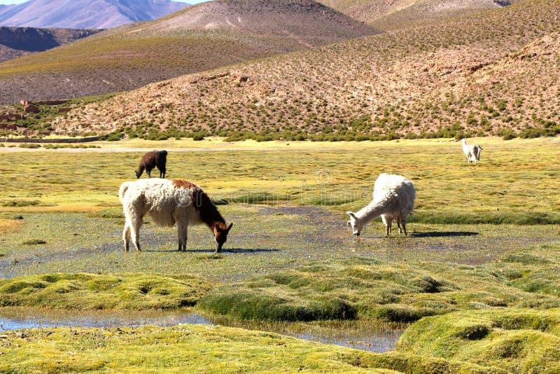 Lama die in het moerasland eten van Bolivië royalty-vrije stock afbeelding