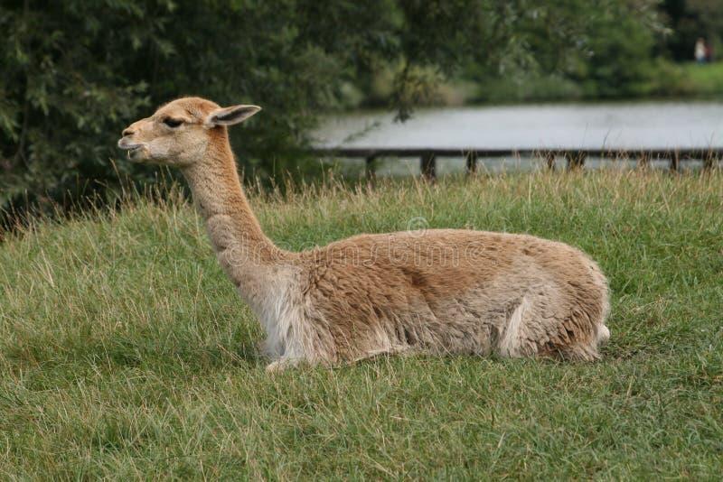 lama die op een gras rust royalty-vrije stock foto