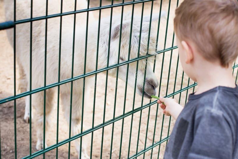 Lama die uit de hand van een jongen eten royalty-vrije stock afbeeldingen