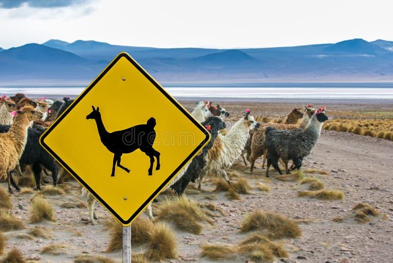 Lama die verkeersteken, Altiplano, Bolivië kruisen royalty-vrije stock afbeelding