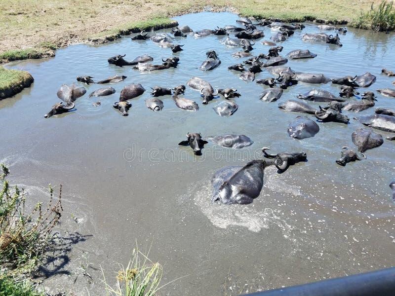 Lama dos búfalos que banha-se em um parque nacional de Sri Lanka fotografia de stock royalty free