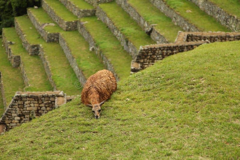 Lama dos Peruvian de Machu Picchu imagem de stock