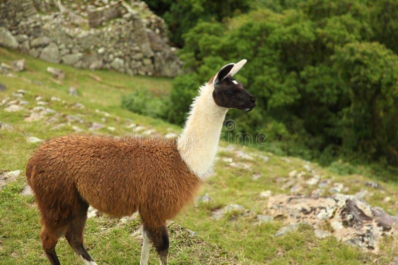 Lama dos Peruvian de Machu Picchu fotos de stock royalty free