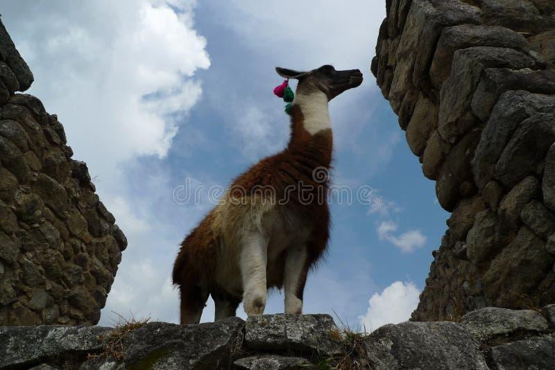 Download Lama e Machu Picchu foto de stock. Imagem de cidade, pedra - 16856240