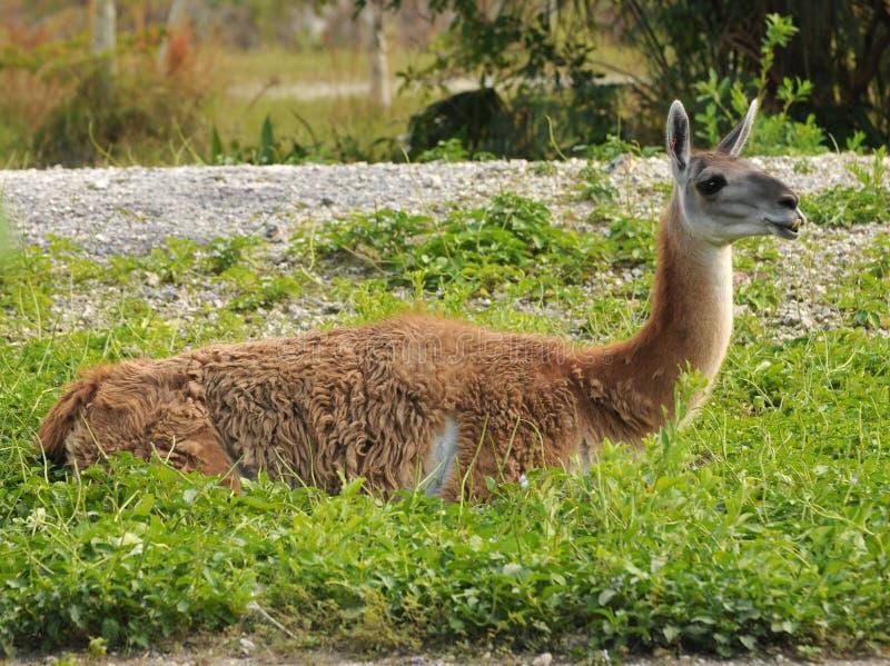 Lama in een landbouwbedrijf royalty-vrije stock afbeeldingen