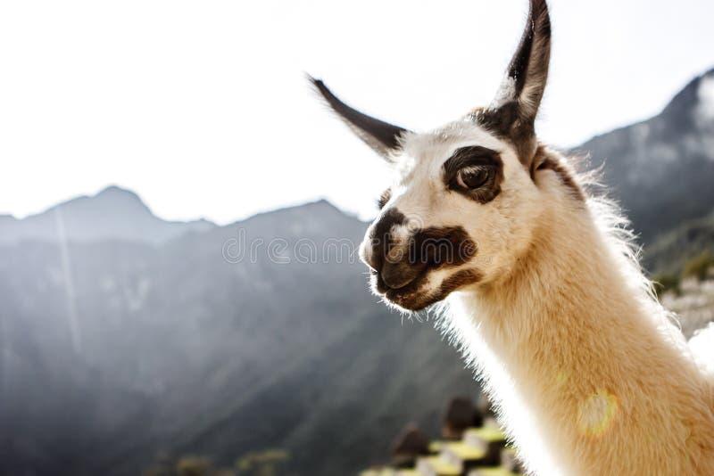 Lama em Machu Picchu, Cuzco, Peru foto de stock royalty free
