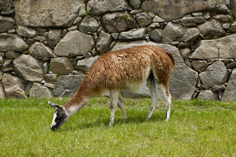 Lama em Machu Picchu, Cuzco, Peru fotos de stock royalty free