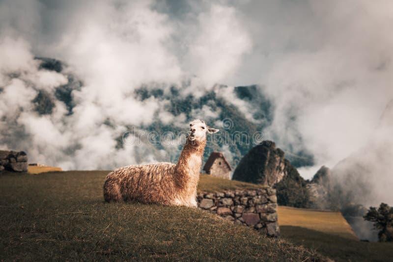Lama em Machu Picchu Inca Ruins - vale sagrado, Peru fotos de stock royalty free