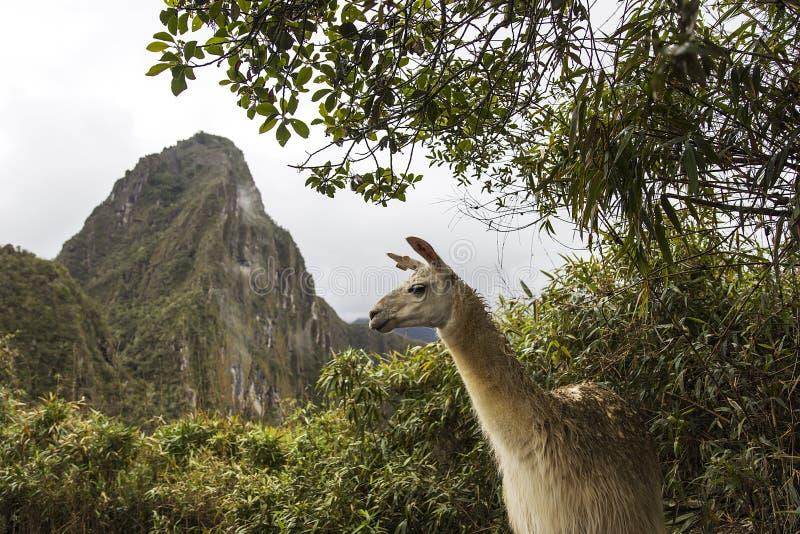 Lama em Machu Picchu no Peru fotografia de stock