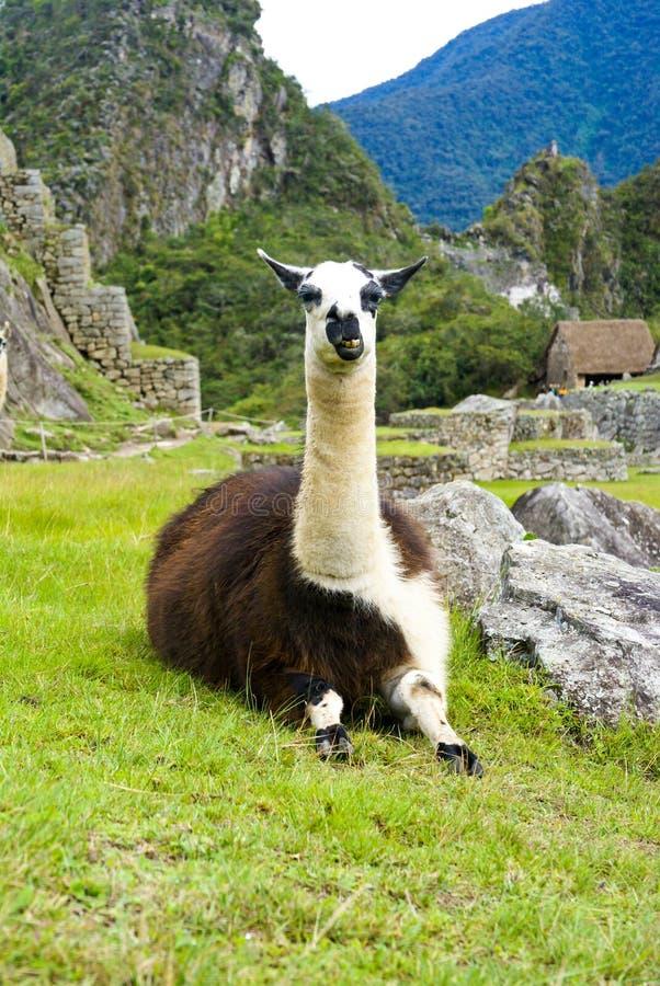 Lama em Machu Picchu, Peru imagens de stock