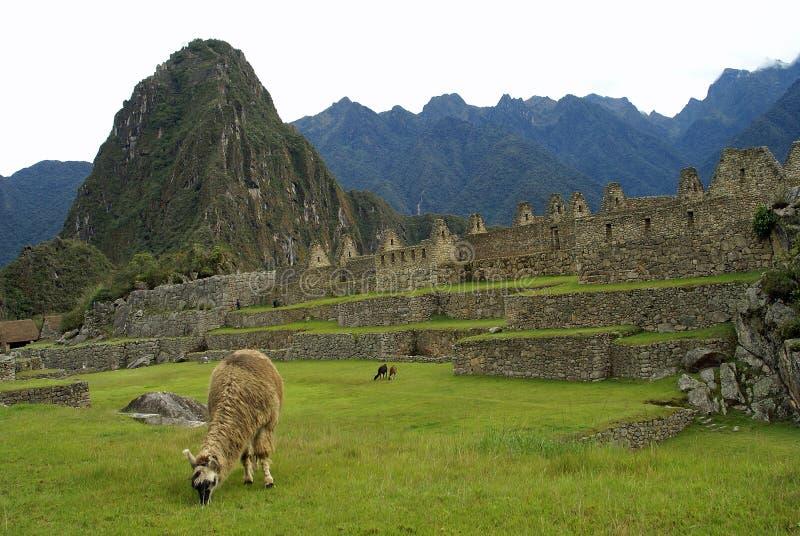 Lama em Machu Picchu, Peru imagens de stock royalty free