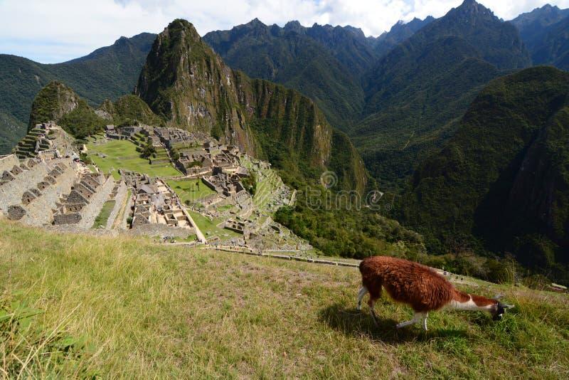 Lama em Machu Picchu peru imagem de stock royalty free