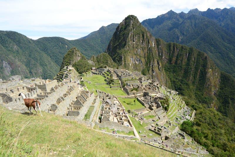 Lama em Machu Picchu peru fotografia de stock