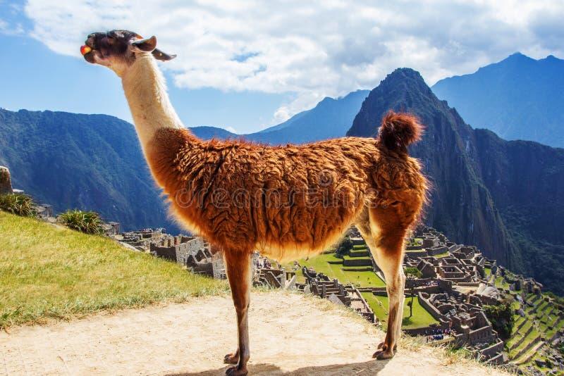 Lama em Machu Picchu, ruínas dos Incas nos Andes peruanos no Peru de Cuzco fotografia de stock