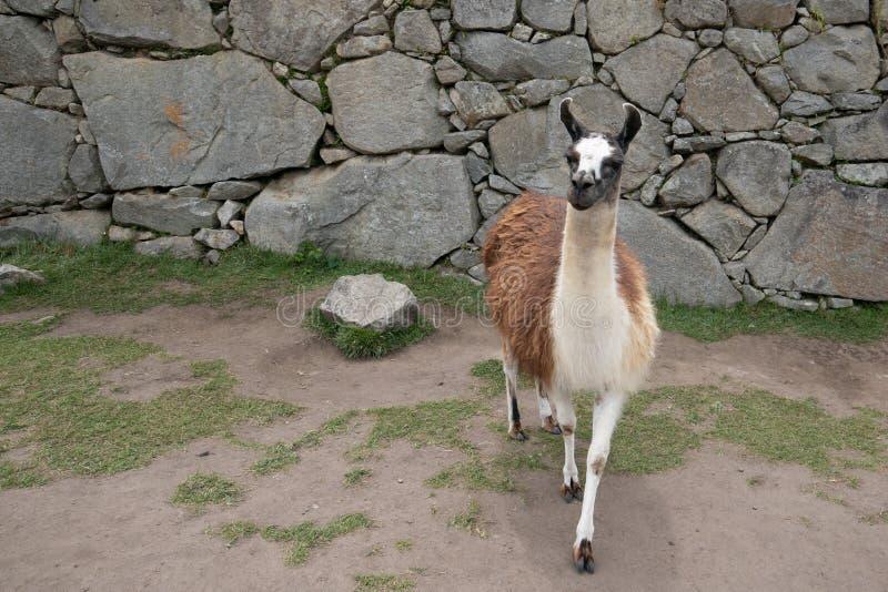 Lama em ruínas antigas de Machu Picchu em Peru South America imagem de stock