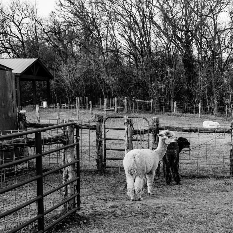 Lama em um jardim zoológico de trocas de carícias imagem de stock royalty free