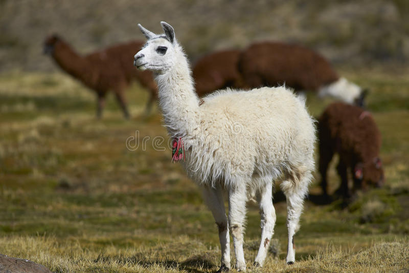 Lama en Alpaca op Altiplano van Noordelijk Chili royalty-vrije stock foto