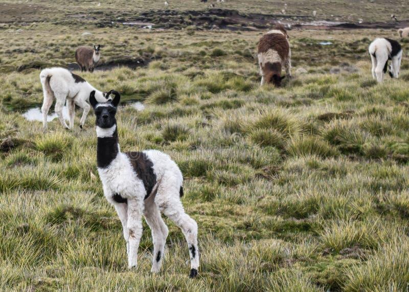 Lama, en Bolivie image libre de droits