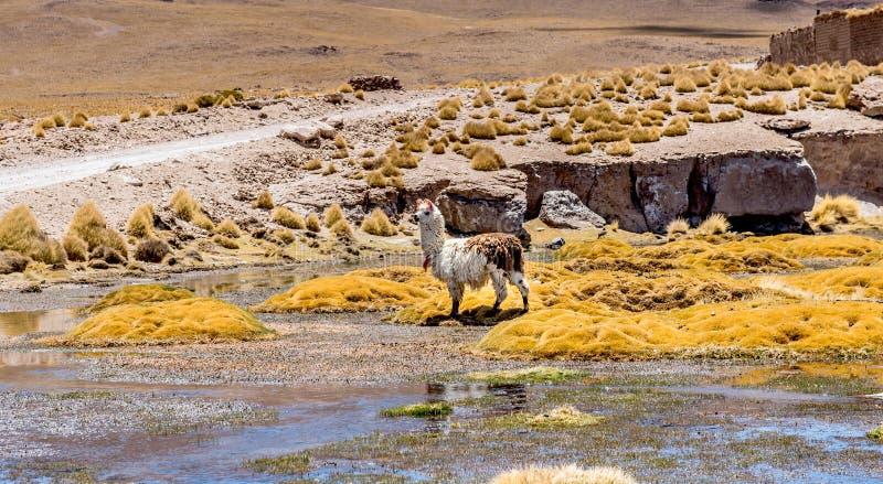 Lama en el pantano en la sol Bolivia fotos de archivo
