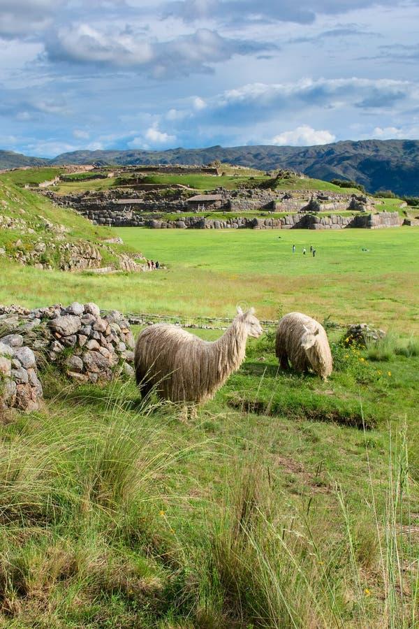 Download Lama En Sacsayhuaman En Cuzco Imagen de archivo - Imagen de recorrido, señales: 64208873