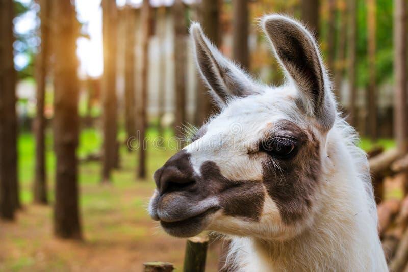 Lama för löst djur på naturen Palanga royaltyfri fotografi