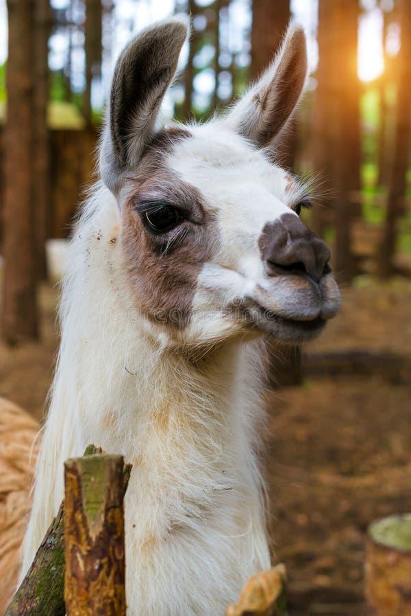 Lama för löst djur på naturen Palanga royaltyfri bild
